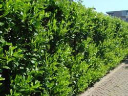 Lovorikovec - Prunus laurocerasus