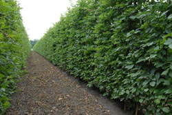 Navadni gaber - Carpinus betulus