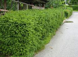 Smreka - Picea abies