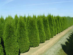 Thuja Occidentalis - Orientalis